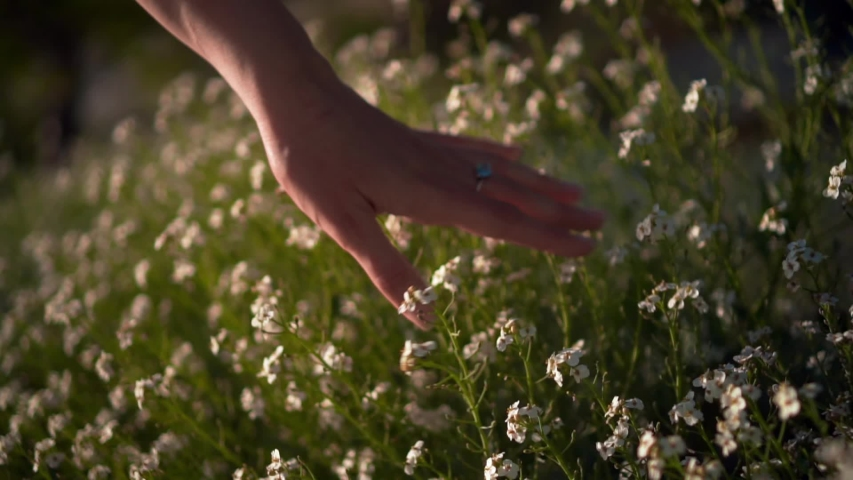 Female hand touches Kosmeya flowers. The woman gently and gently walks her hand over the tops of Kosmeya flowers. White kosmeya in the garden closeup. The concept of unity of man with nature. | Shutterstock HD Video #1031356085