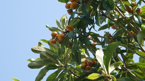 Fruit of loquat - Eriobotrya japonica - has become in Fukuoka city, JAPAN. without sounds