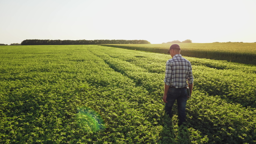 Farmer inspects chickpea growth walking through the field. Fresh green chickpeas field. Digital tablet in man's hand. Rear view, slow motion steadicam shot.