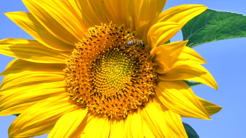 Bee collecting Sunflower Pollen, Closeup footage. | Shutterstock HD Video #1031520857