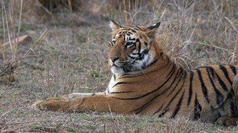 a close up of a young tiger cub laying down at tadoba andhari tiger reserve in India
