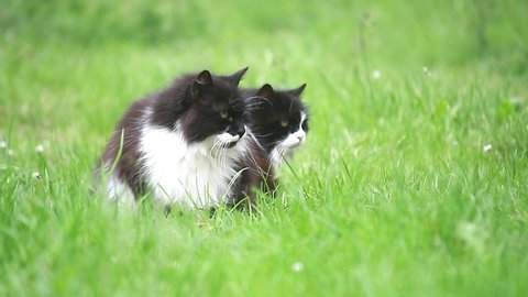 Beautiful two domestic cats on a green grass