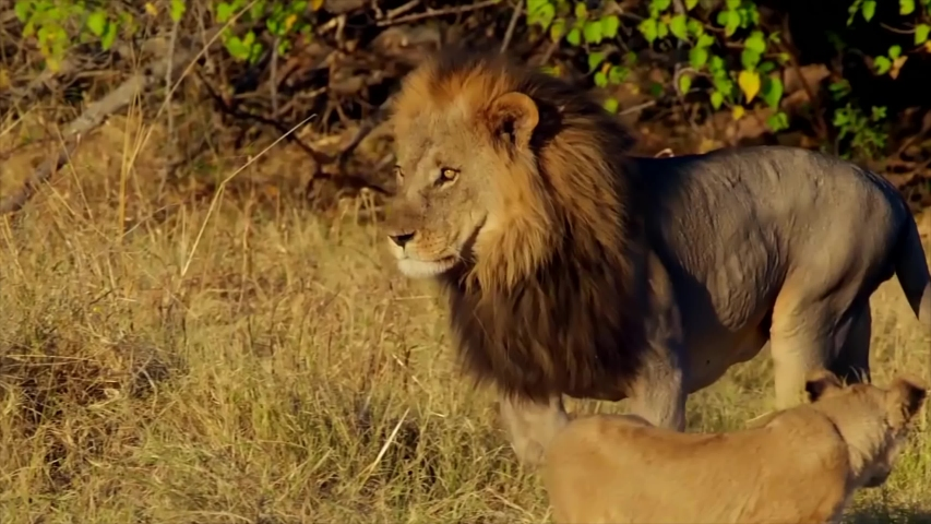 Epic African Lion Attacks Another Lion