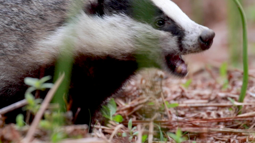 badger, meles meles, close footage of the mammal eating/moving surrounded by bracken within a forest in Scotland during June.