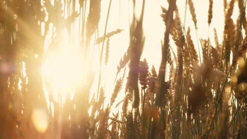 Agriculture and food production. Yellow field of rye or wheat spikelets. Sun flares Royalty-Free Stock Footage #1031700791