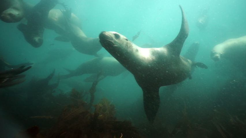Group of Seals underwater of Sea of Okhotsk. Family of northern sea lion marine mammal animal underwater in wil nature.