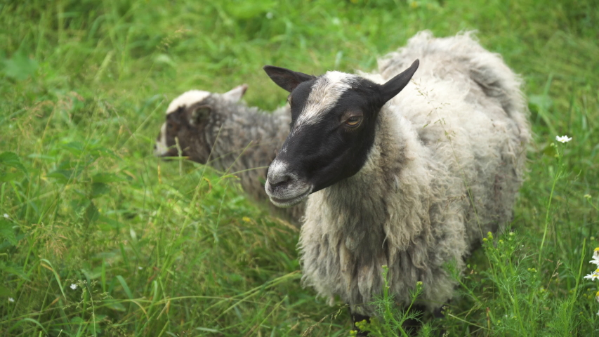 In the village in the field they walk and eat the green grass of sheep and goats near the forest along the fence