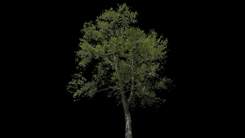 Platanus isolated on black background with alpha channel - Apple ProRes 4444 with Alpha channel, 10bit high quality footage