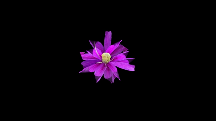 Growing Pink Long Petals Flower Beautiful 3d Animation 4k Video Flower Time lapse