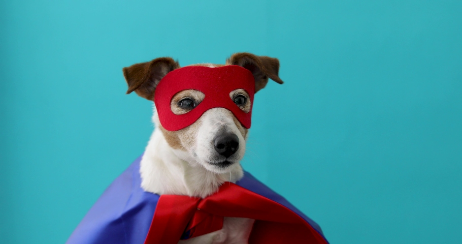 Dog super hero costume. little jack russell wearing a red mask for carnival party isolated blue background | Shutterstock HD Video #1031996207