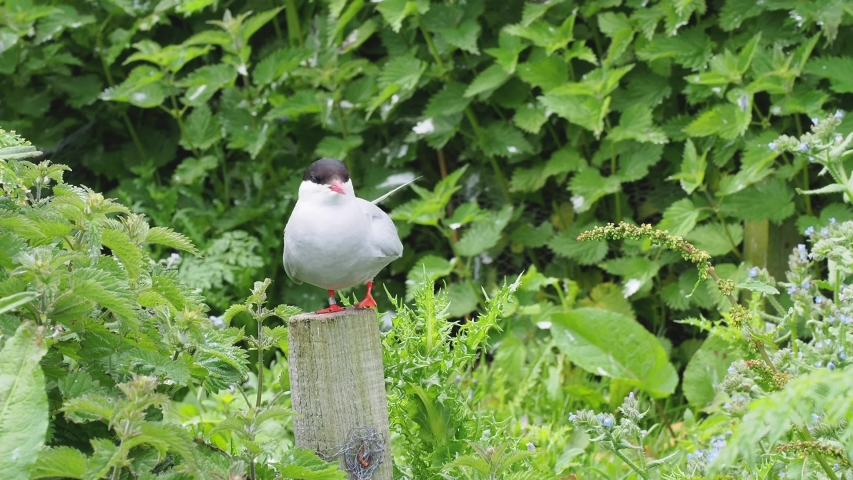 Arctic Tern (Sterna Paradisaea) on a Post