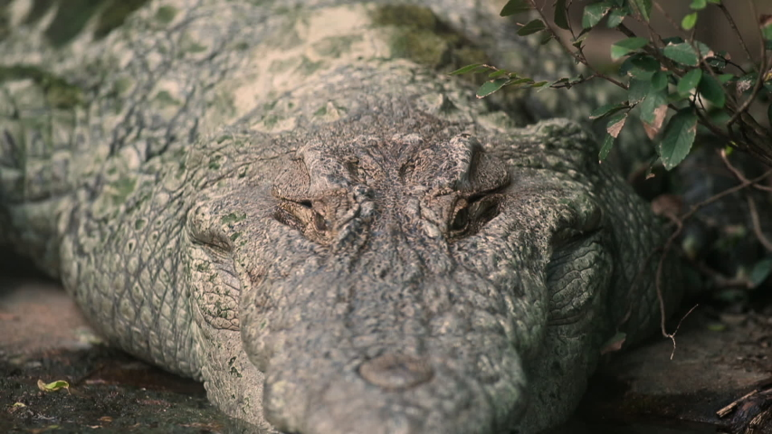 Extreme close-up low-angle bottom-side panning shot of a huge algae covered American Alligator lying at a swampy pond's shoreline ground, America | Shutterstock HD Video #1032103784