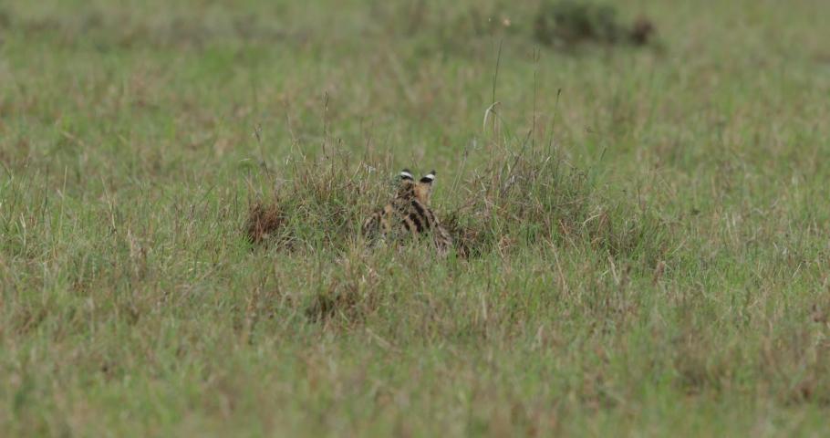 Serval cat stalking in long grass in Kenya's Maasai Mara national park in East Africa #1032151901