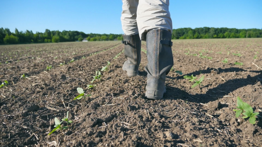 Follow to male farmer's feet in boots walking through the small green sprouts of sunflower on the field. Legs of young man stepping on the dry soil at the meadow. Low angle view Close up Slow motion   Shutterstock HD Video #1032152522
