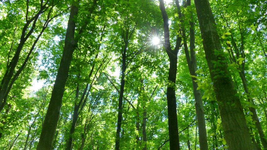 Green summer forest. The sun's rays shine through the branches of trees with green leaves. Clean ecology. | Shutterstock HD Video #1032244262