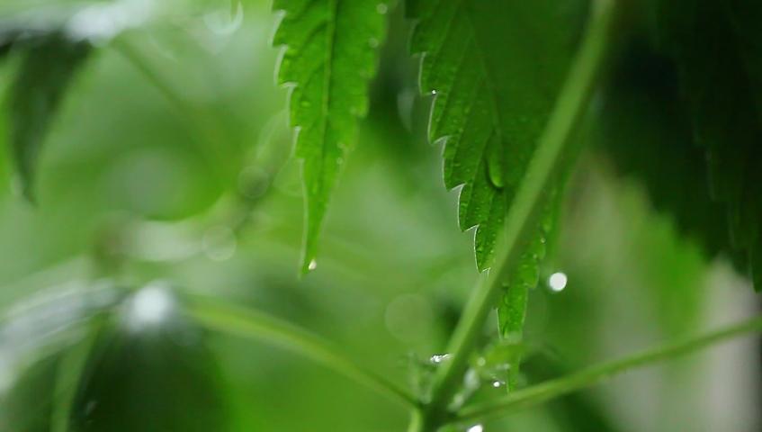 Video evening background green leaves hemp. Medical marijuana cannabis plant | Shutterstock HD Video #1032246434