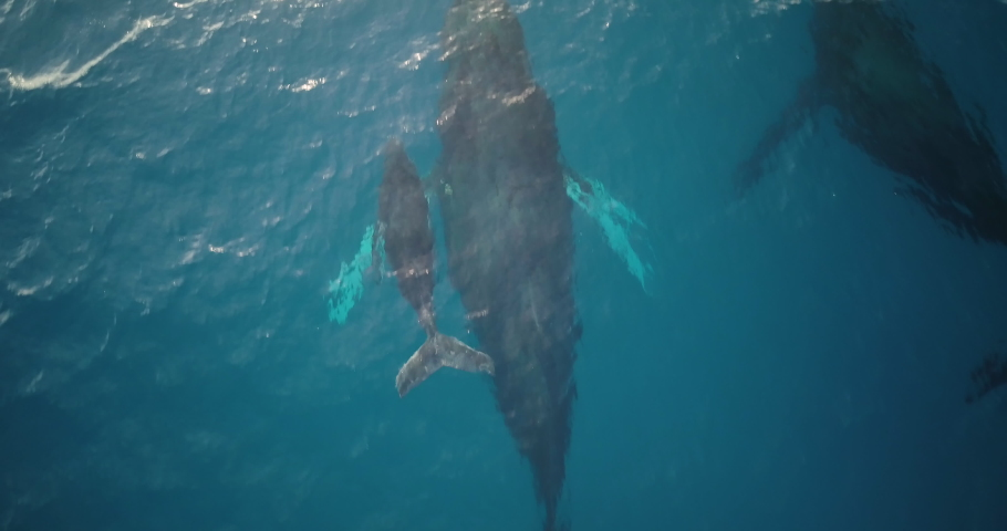 Male escort humpback whale protecting mother and calf during migration season | Shutterstock HD Video #1032291845
