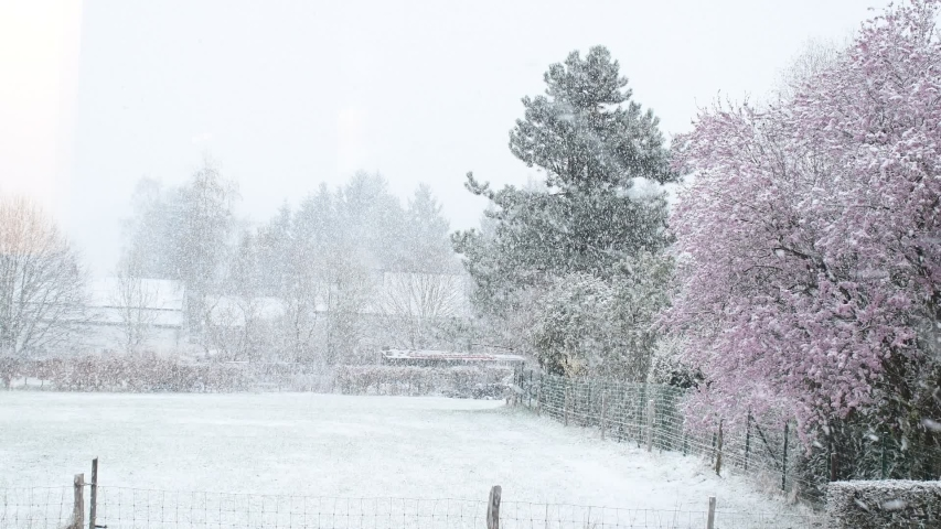 Cloud and foggy day with white snow falling slowy in spring season with background sweet pink cherry blossom (Sakura) flower, yard or field and tree cover with snow, beautyful and romantic moment. | Shutterstock HD Video #1032316118