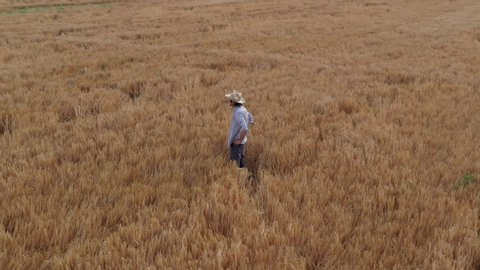 Aerial view of farmer standing in ripe barley crop field. Adult male agronomist examining plantation ready for harvesting season from drone point of view, rotating camera