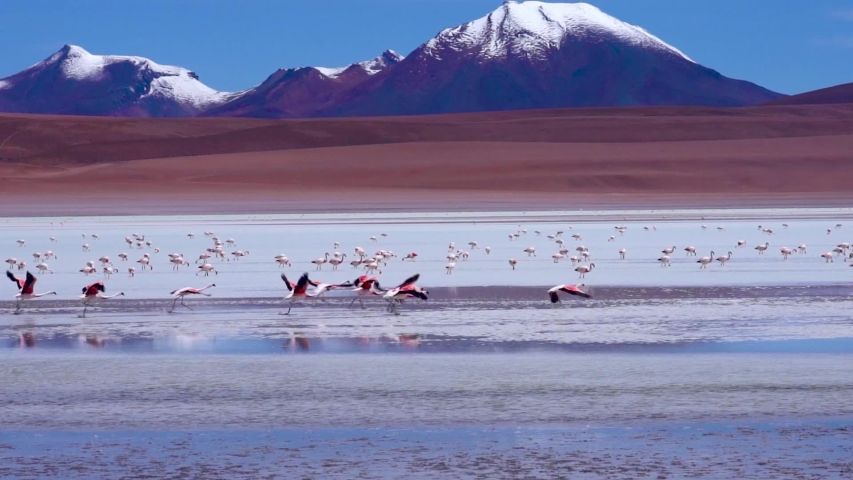 Flamingos taking off and Flying in Slow Motion Close to Water at colorful blue lake with snowy Mountains in Distance. Near Salar de Uyuni, Bolivia, South America