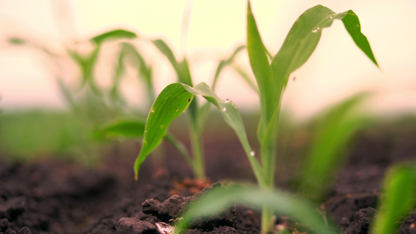 A close-up of vibrant green young corn plants, seedlings on dark brown fertile, moist soil. Corn field, warm spring day, growing corn in an agricultural field