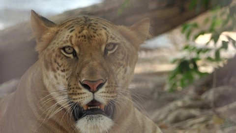 An Adult Female a Lion