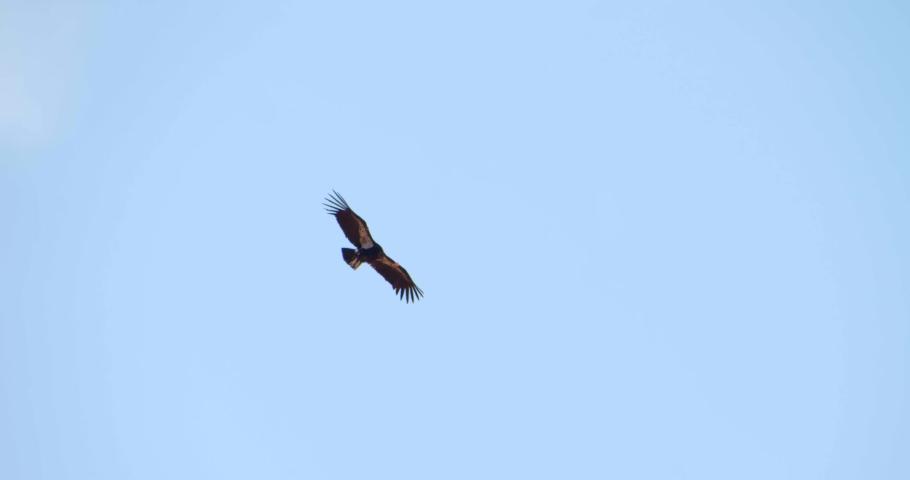 Slow Motion, California Condor Flying Above Trees, Day Sunny Sky