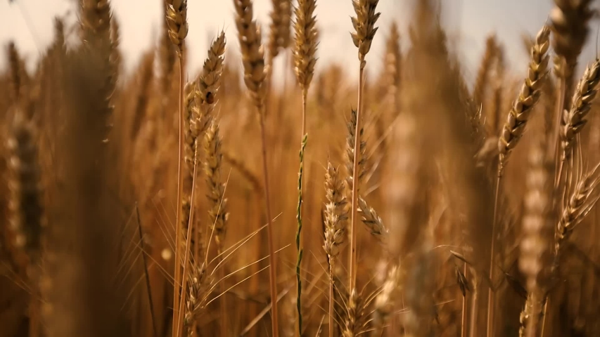 Wheat Field. Ears of wheat close up. Harvest and harvesting concept.