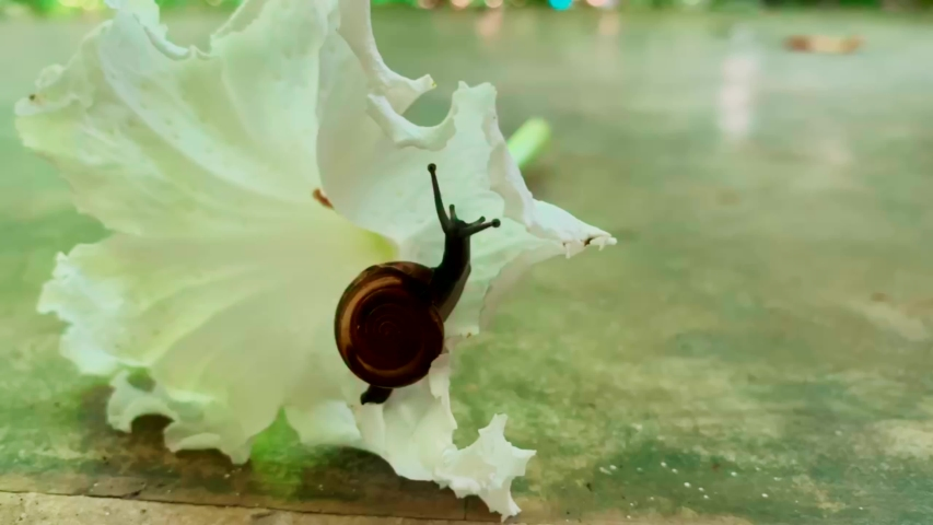 Snails are climbing to the white flowers on the cement floor | Shutterstock HD Video #1032540842