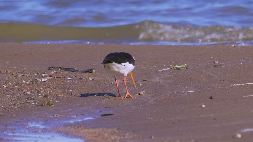 Bird eurasian oystercatcher (Haematopus ostralegus) walking along the sandy shore and in shallow water. The bird searches for shells and eats molusks in them.
