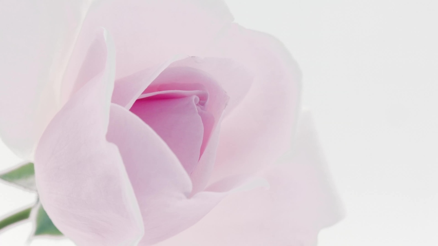 Beautiful opening pink rose on white background. Petals of Blooming pink rose flower open, time lapse, close-up. Holiday, love, birthday border. Bud closeup. Macro. 4K UHD video timelapse 4K UHD