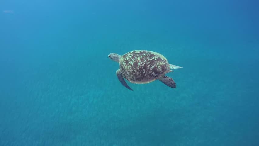 Green sea turtle(Chelonia mydas) swimming in blue water, Red sea, Marsa Alam, Abu Dabab, Egypt    Shutterstock HD Video #10326569