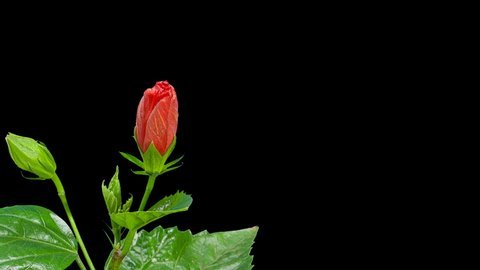 Blooming red Hibiscus flower buds ALPHA matte, FULL HD. (Hibiscus Porto) (Time Lapse)