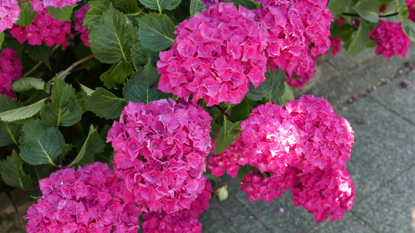 Dark Pink Hydrangea Stock Footage