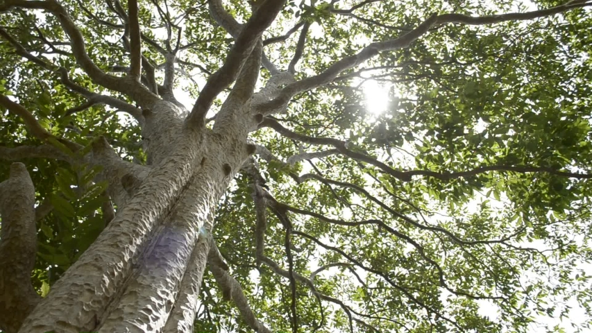 Spring sun gently shining through the green branches of a big tree in tropical rain forest.   Shutterstock HD Video #1032730940