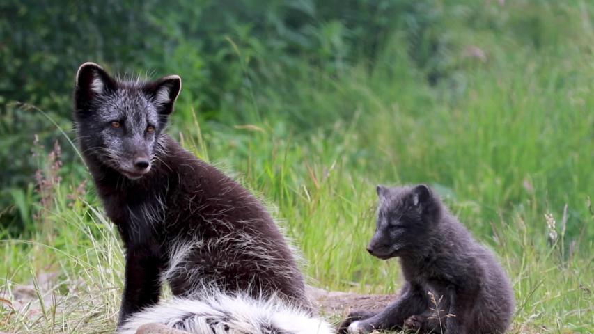 Arctic fox black