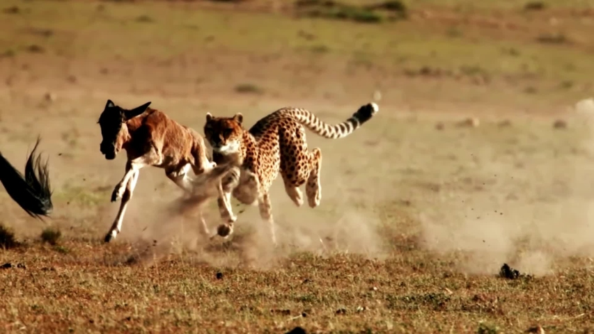 Amazing Footage of a Cheetah Chasing Down its Prey Slow Motion