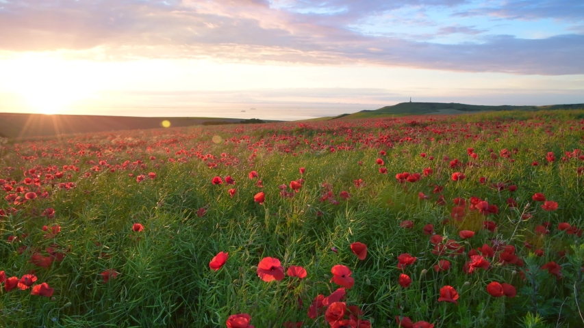 Field of Poppies at sunset in Northern France | Shutterstock HD Video #1032838727
