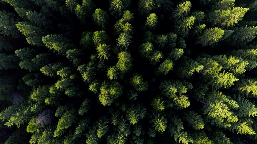 Aerial drone shot of green trees in European forest. Tops of the trees are highlighted by morning sun