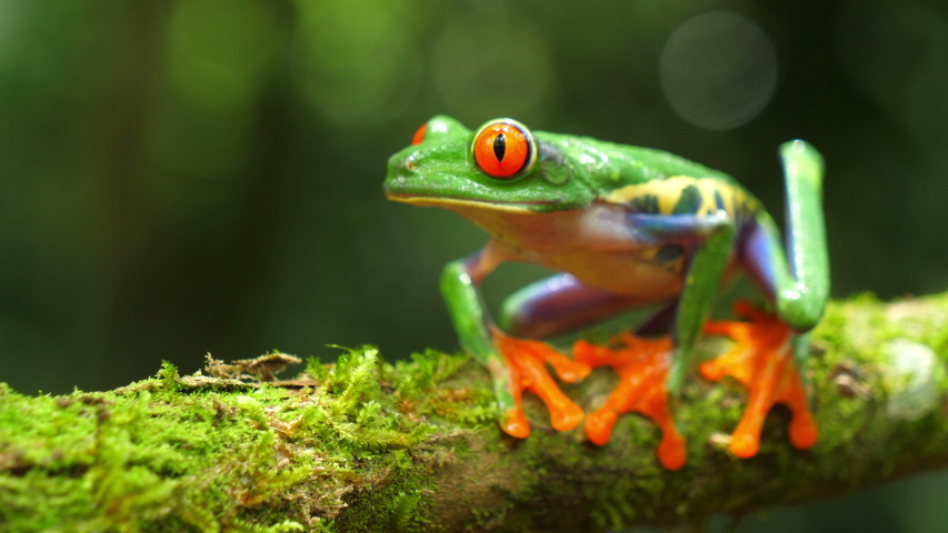 Red-eyed tree frog in its natural habitat in the Caribbean rainforest. Wildlife endangered species. Awesome colorful frogs collection. Agalychnis callidryas, known as the red-eyed treefrog, | Shutterstock HD Video #1032988694