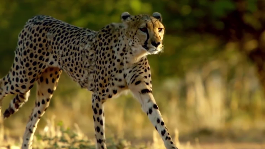 Cheetah Running in The Wild Super Slow Motion