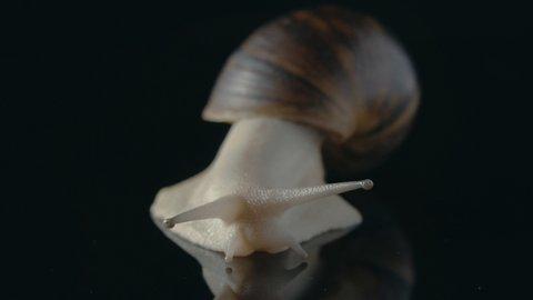 snail on black mirror background