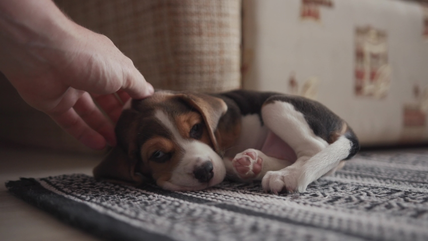 Adorable friendly family scene at home. Close-up of man stroking a cute beagle puppy lying down on the carpet. Sweet little dog smacks of happiness enjoys warm touches of hand. | Shutterstock HD Video #1033142039