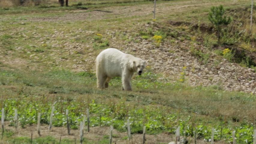 A single Polar bear walks through grassy area
