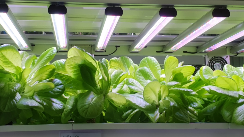 Sustainable agriculture for future food. Vegetables are growing in indoor farm/vertical farm. (Small signposts are written 'Butterhead' in Korean.) | Shutterstock HD Video #1033204262