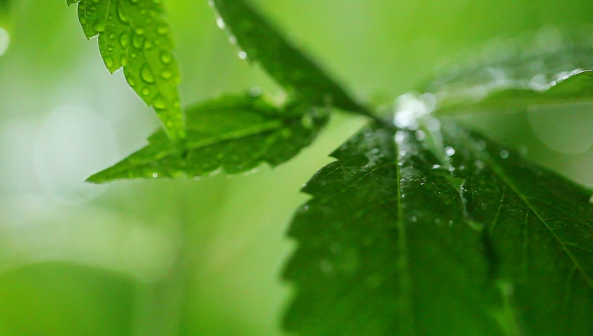 Video evening background green leaves hemp. Medical marijuana cannabis plant | Shutterstock HD Video #1033235495