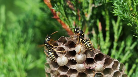 Closeup of wasp's nest with common wasps on green bush in forest at sunny day