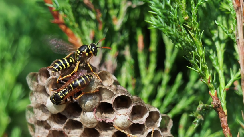 Closeup of wasp's nest with common wasps on green bush in forest at sunny day Royalty-Free Stock Footage #1033256942