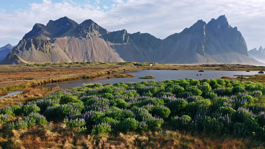 Fantastic scene of Stokksnes cape with Vestrahorn (Batman Mountain) on background. Summer view of Iceland with field of blooming lupine flowers. 4k drone flight above footage (Ultra High Definition).