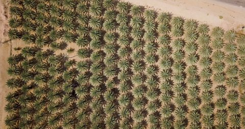 Extreme Top Down Aerial Shot Coming Down of Date Palms at the Arava Desert, Israel,
